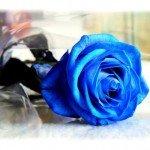 """""""STOP appreciate a blue rose"""""""